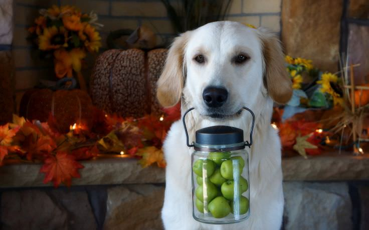 Thanksgiving Dog Wallpaper