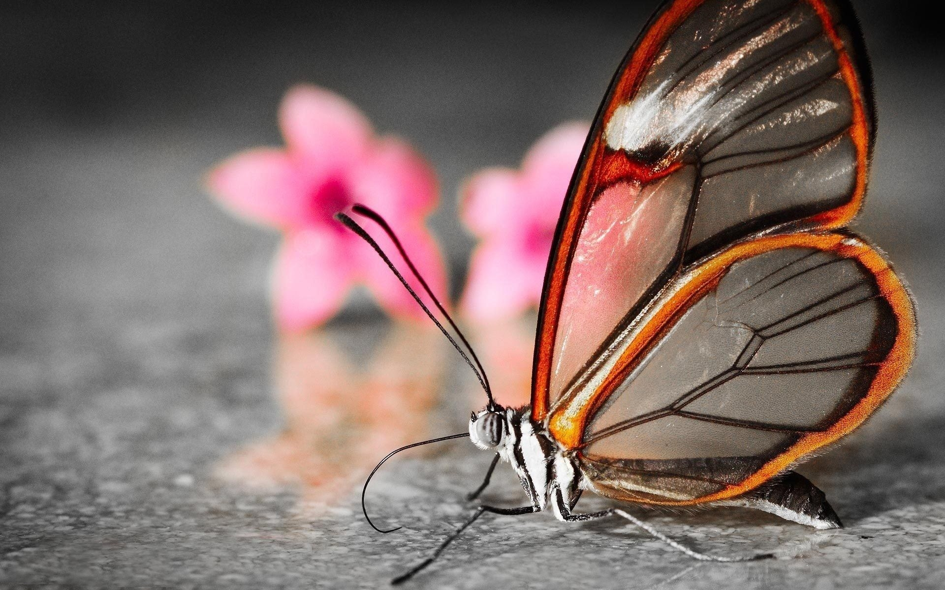 Transparent Butterfly Wallpaper