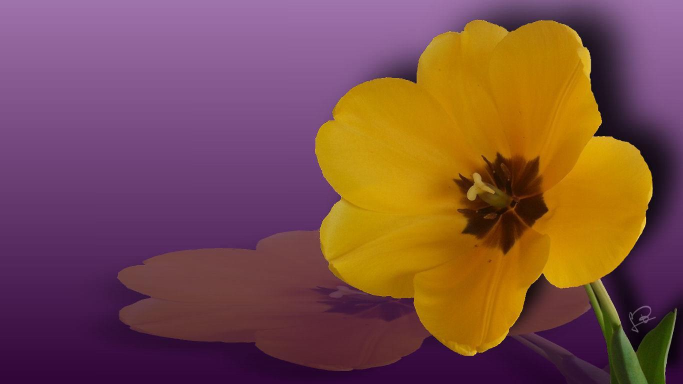 Tulipanes Yellow Flower Wallpaper