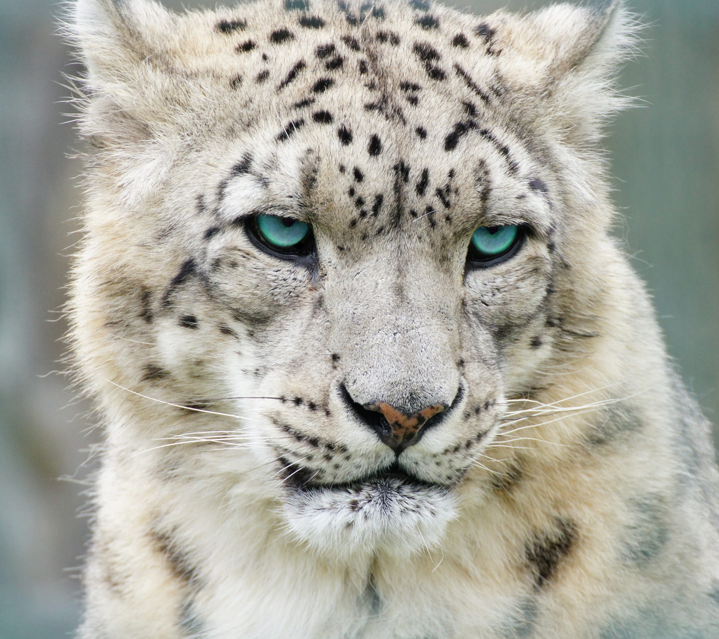 White Leopard Wallpaper