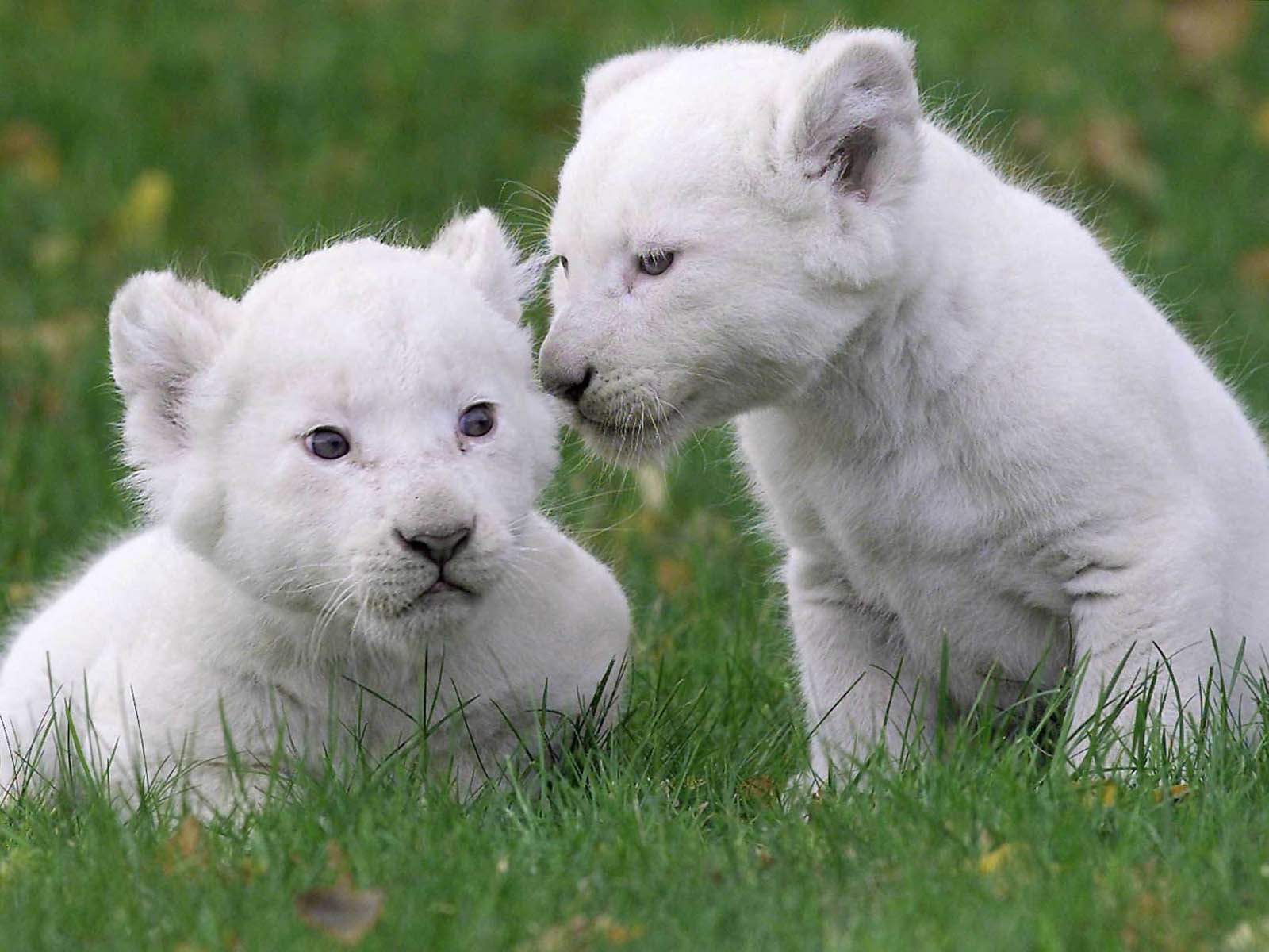 White Lion Cubs Wallpaper