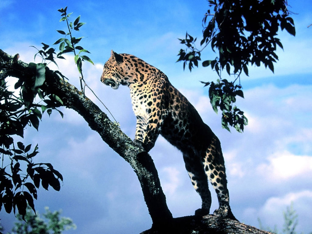 Wildlife Leopard Wallpaper