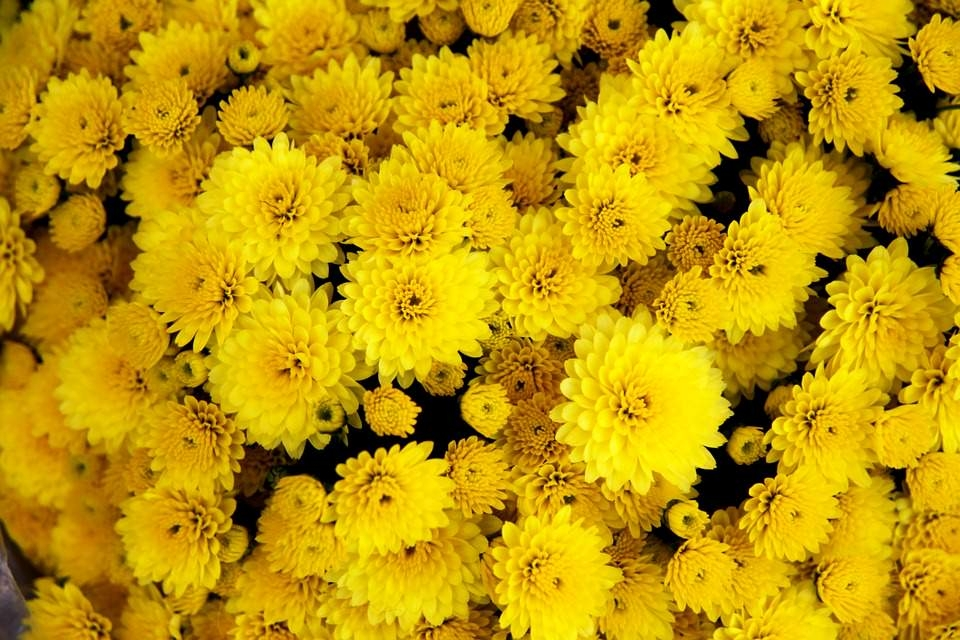 Yellow Chrysanthemum Wallpaper