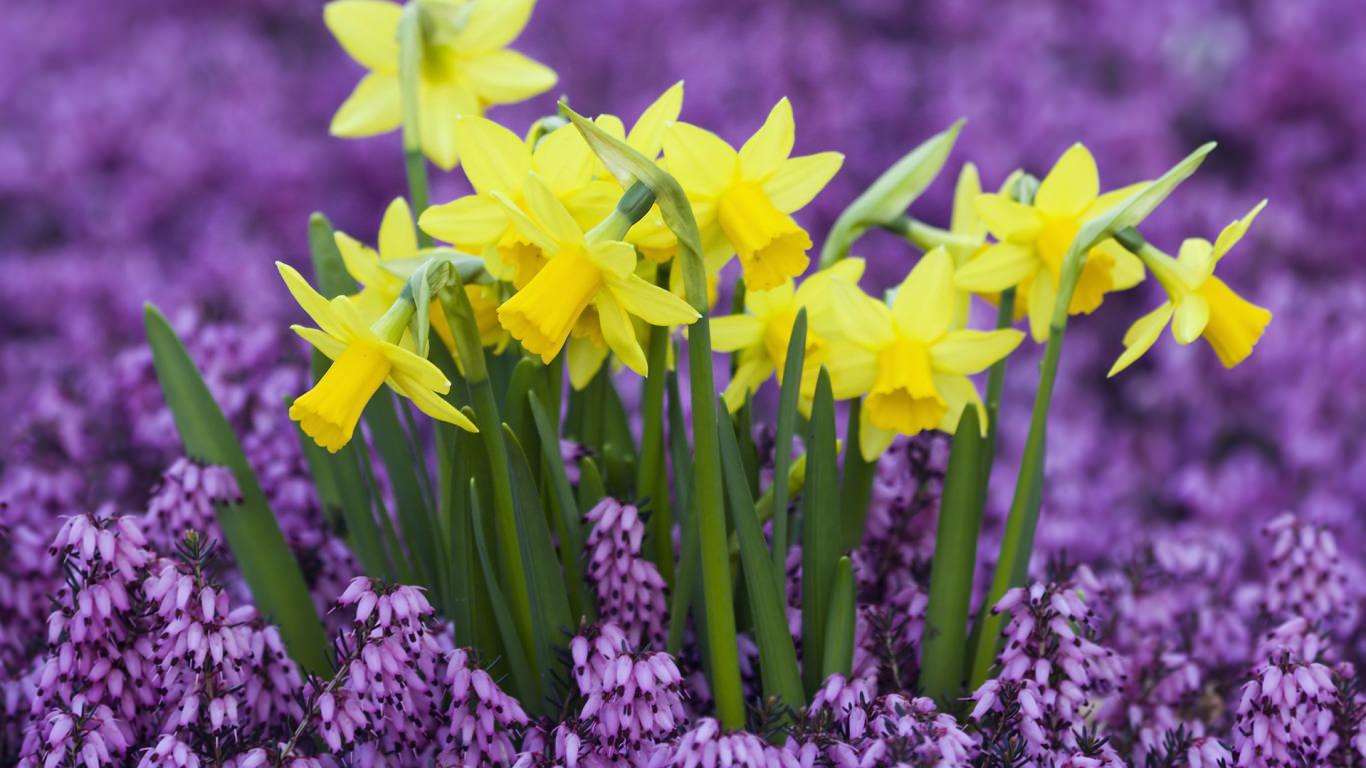 Yellow Daffodils in Purple Heather Wallpaper
