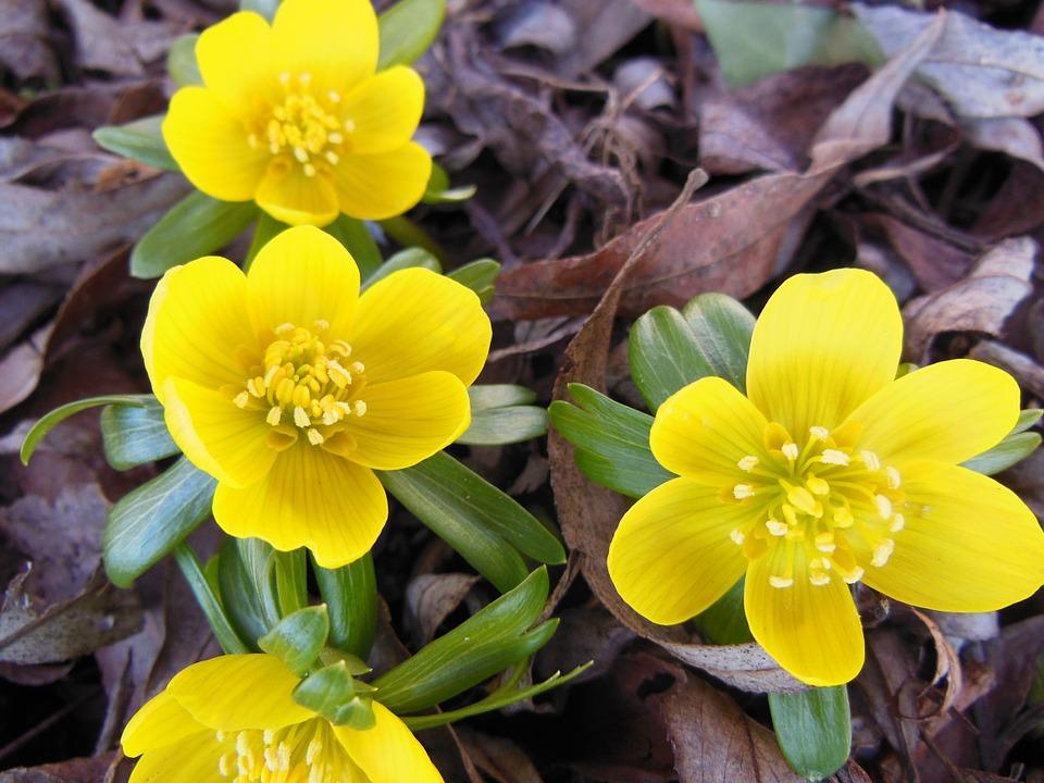 Yellow Eranthis Herald of Spring Wallpaper