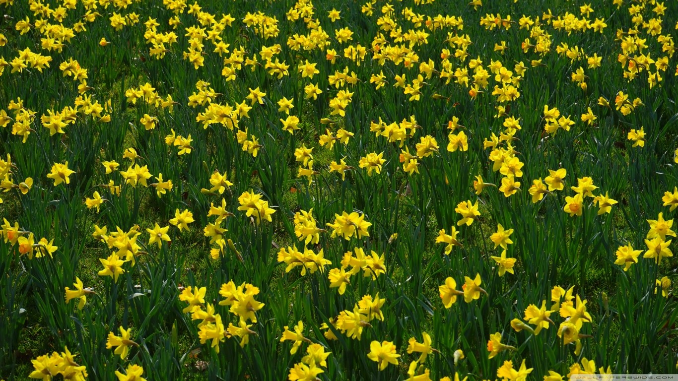 Yellow Narcissus Wallpaper