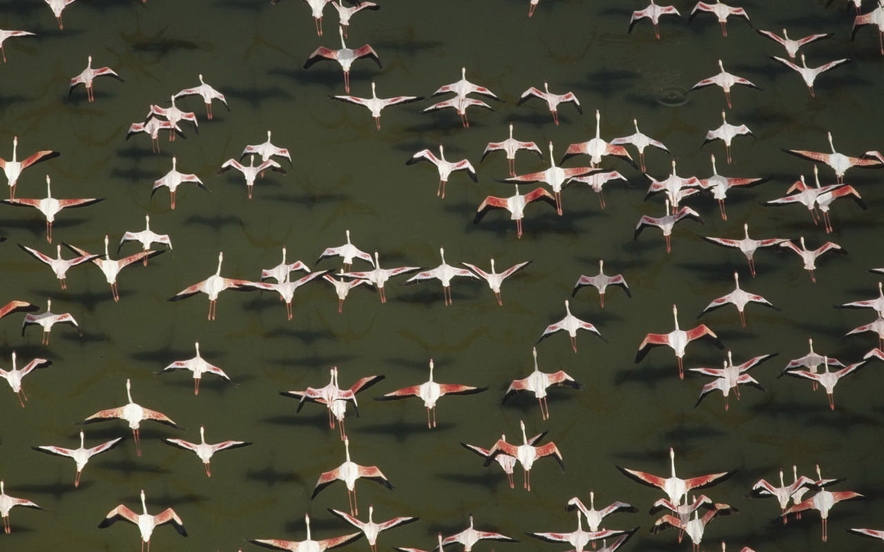 Aerial View Of Flamingos Wallpaper
