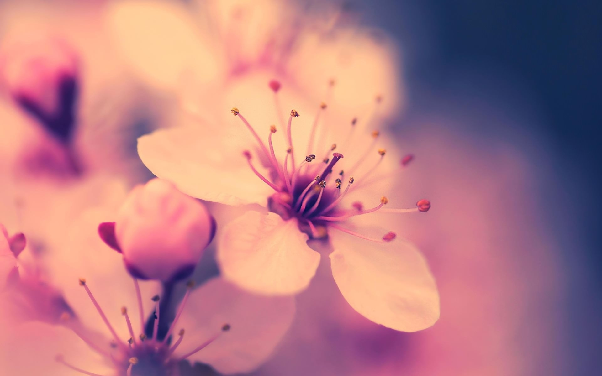 Amazing Cherry Blossom Background