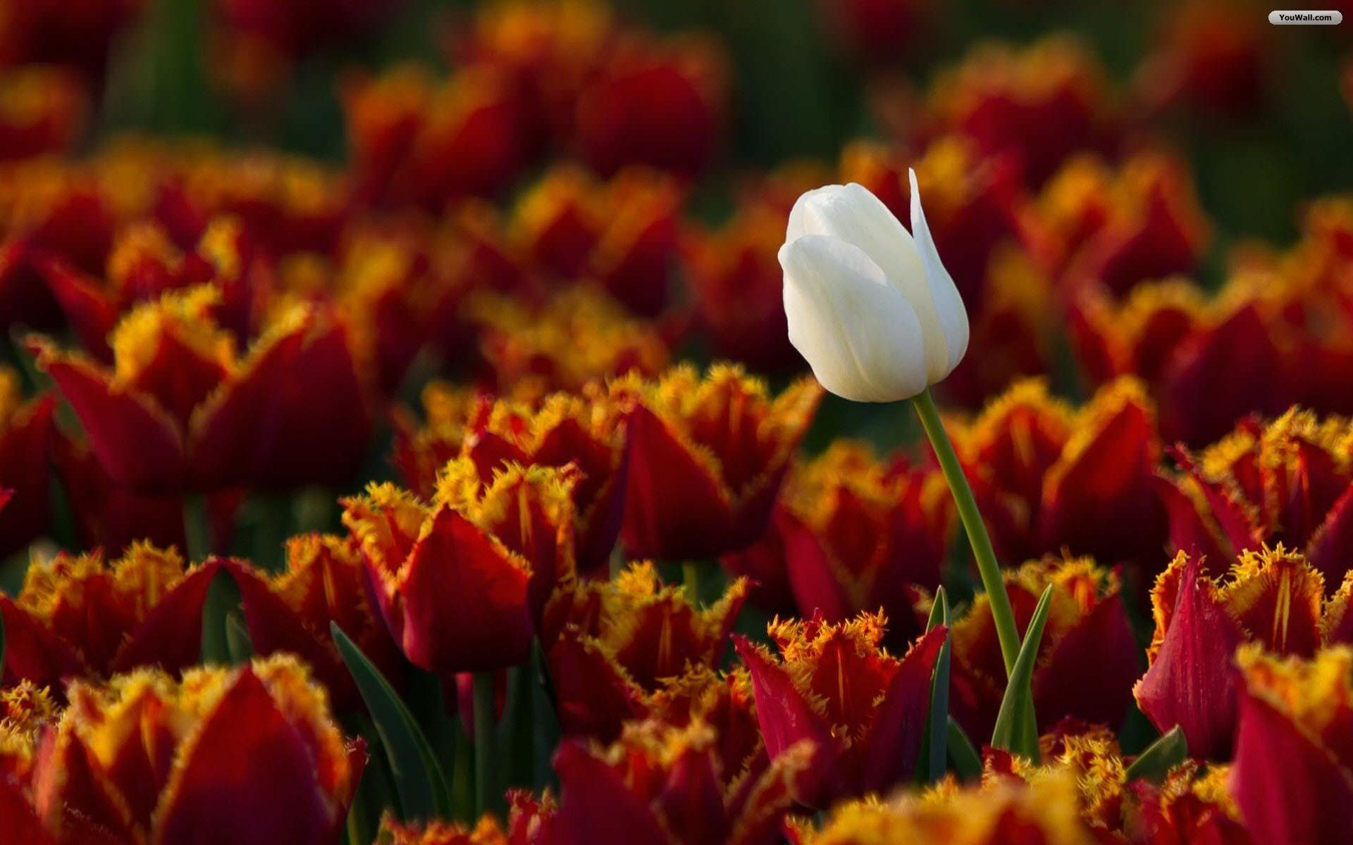 Amazing White Tulip Flower Wallpaper