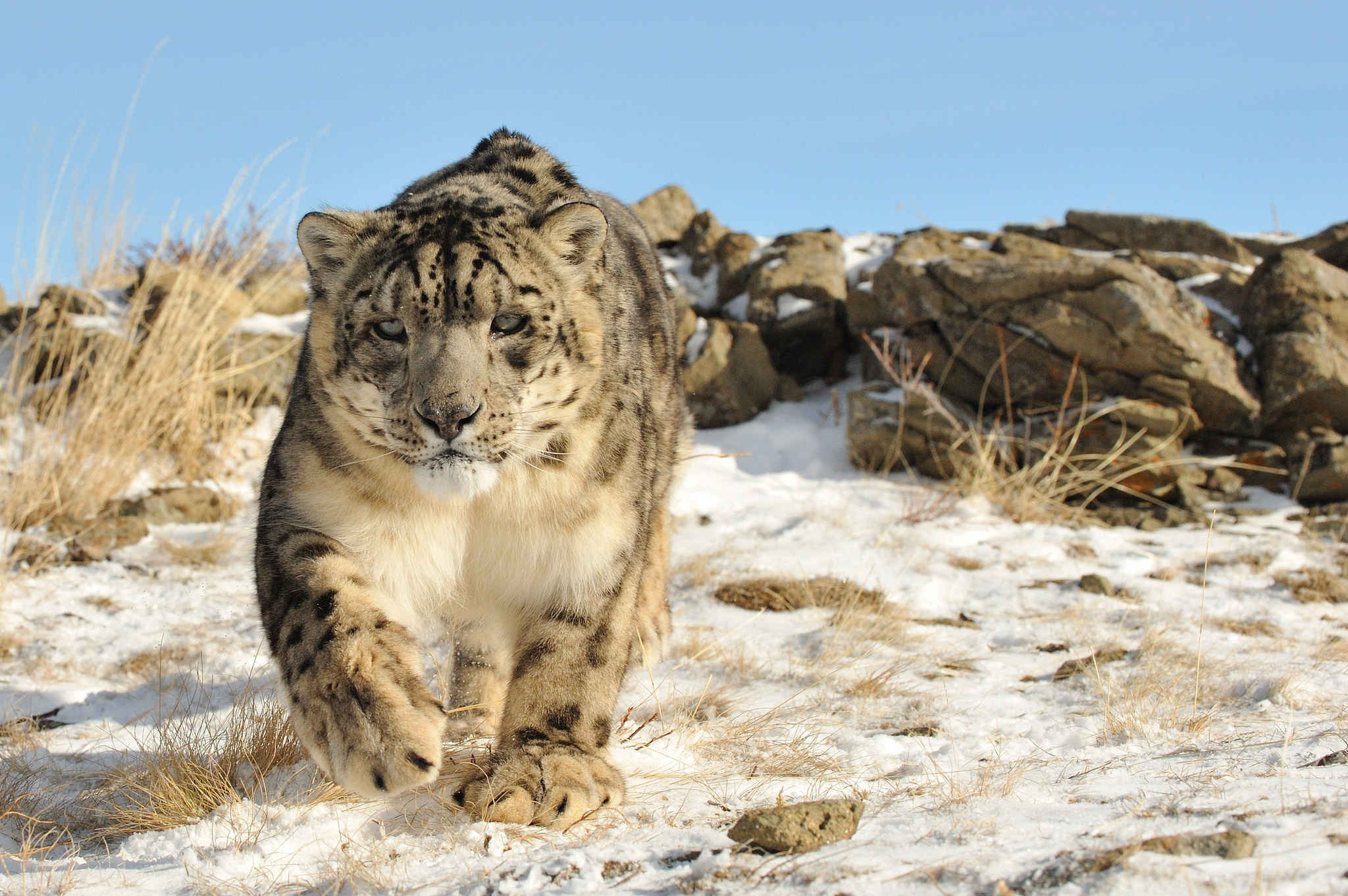 Animal Snow Leopard For you