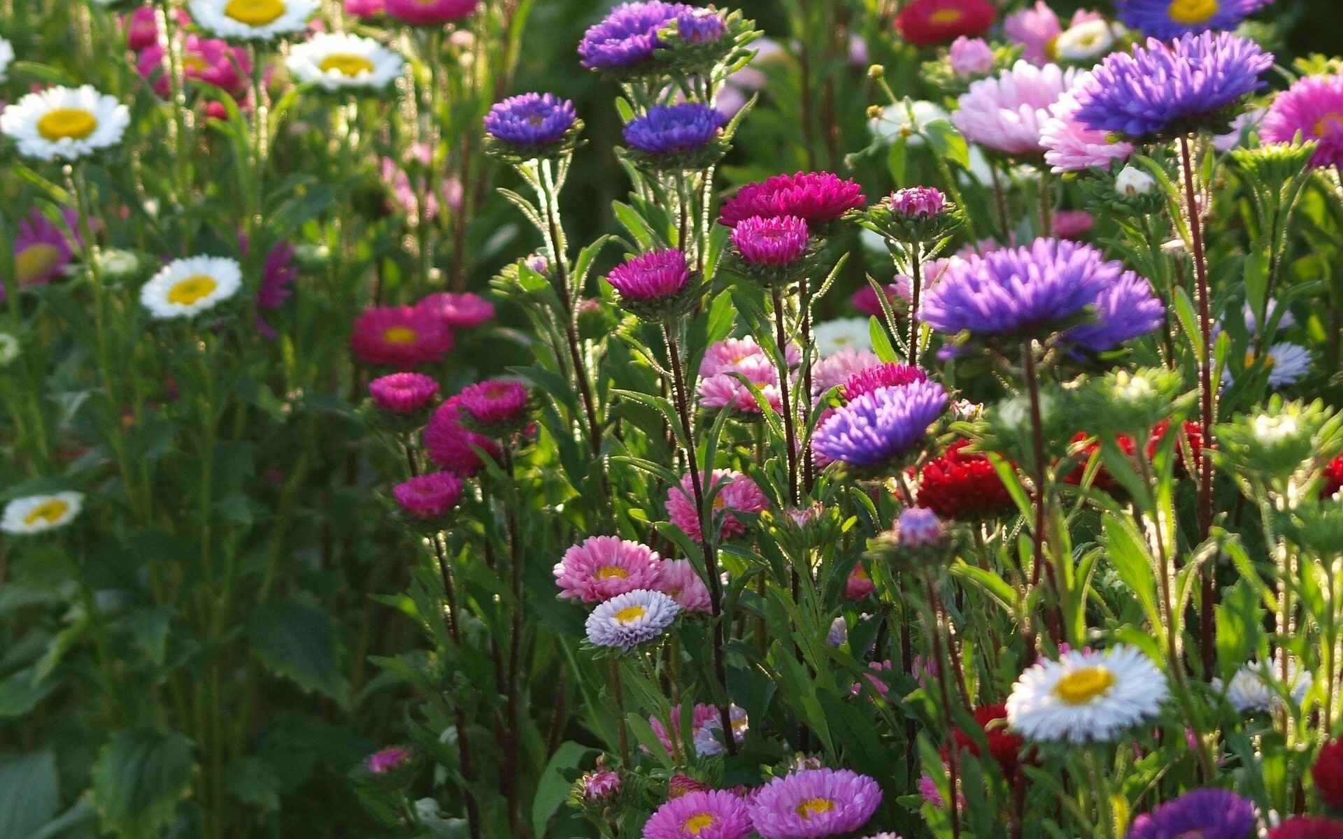 Asters & Daisies Spring Flowers
