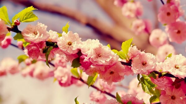 Awesome Cherry Blossoms Background