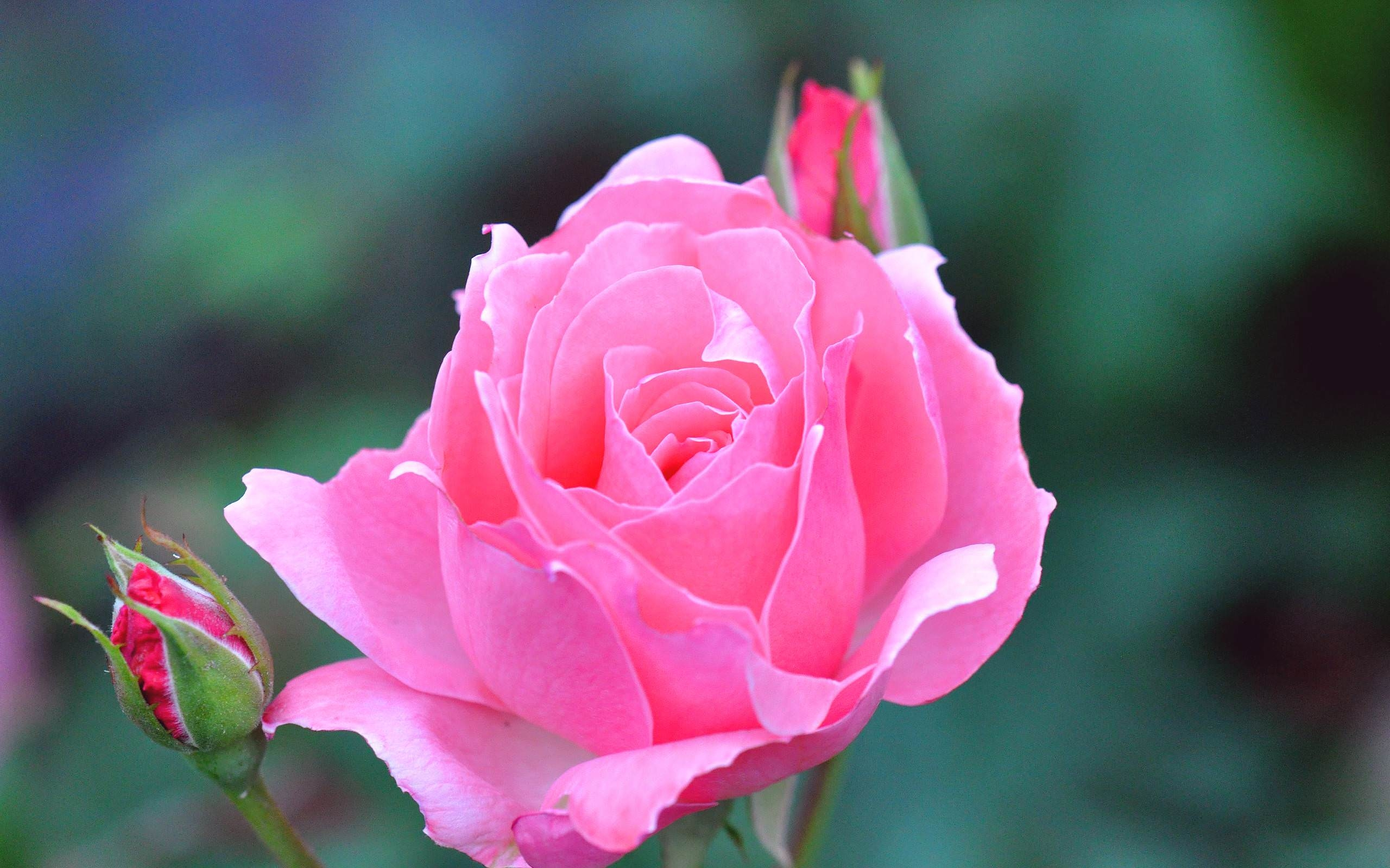 Baby Pink Rose Flower Wallpaper