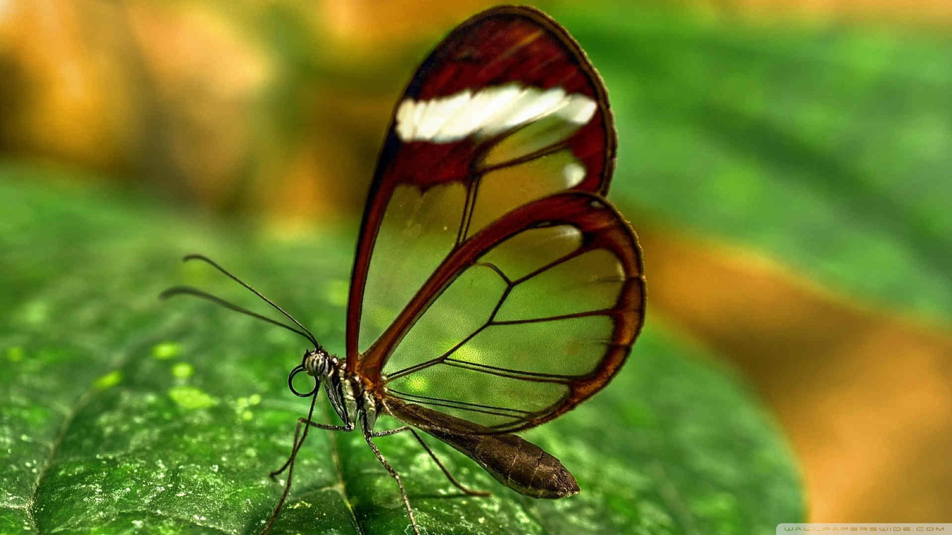 Beautiful Butterfly Transparent Wallpaper