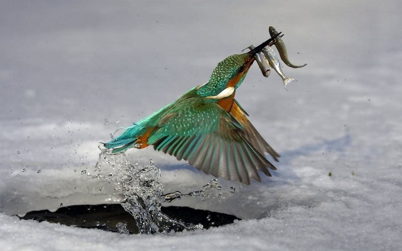 Bird Catching fish Wallpaper