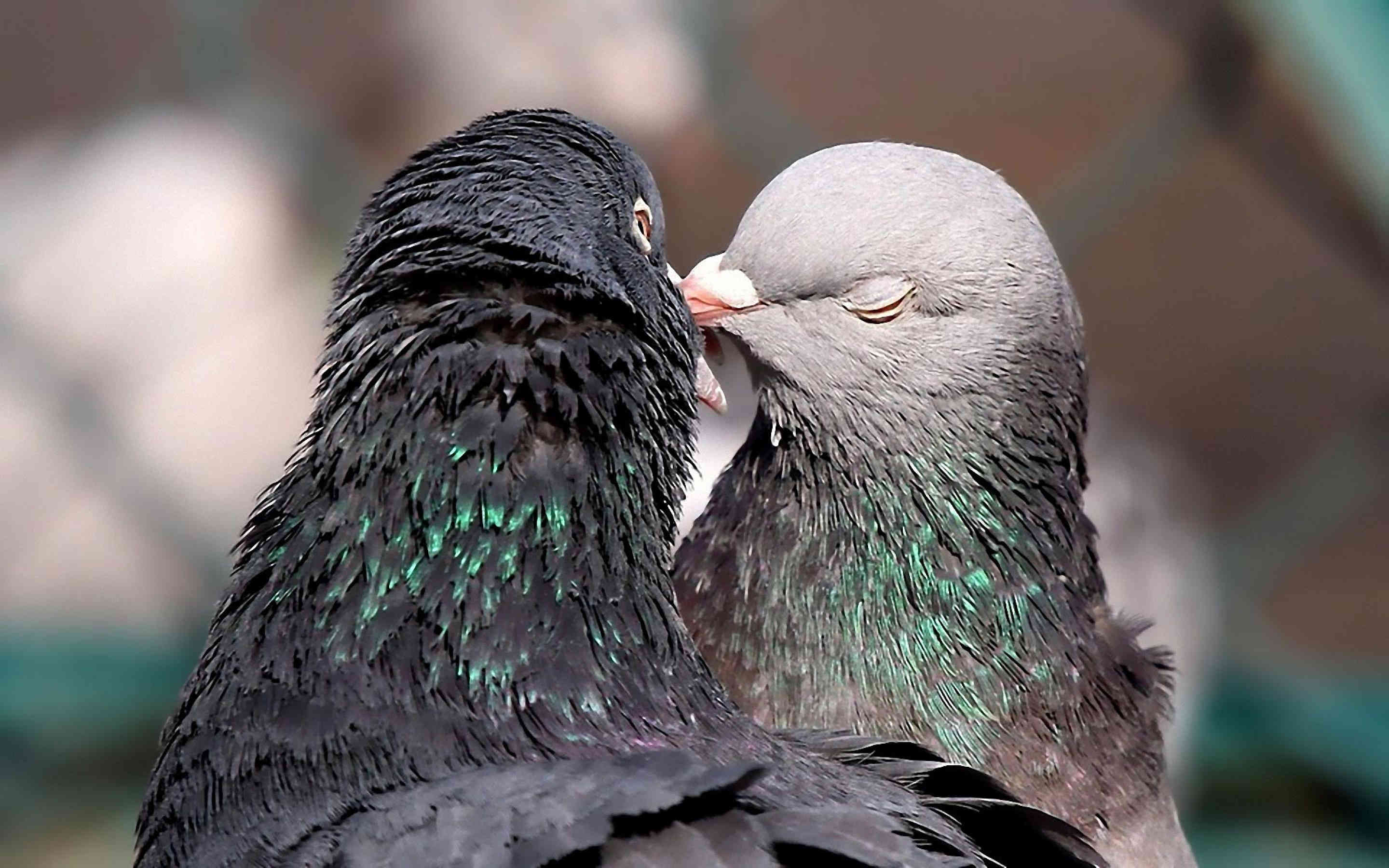 Bird Dove Kissing Wallpaper