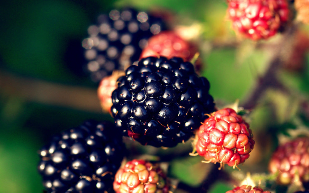 Blackberry Fruit Wallpaper