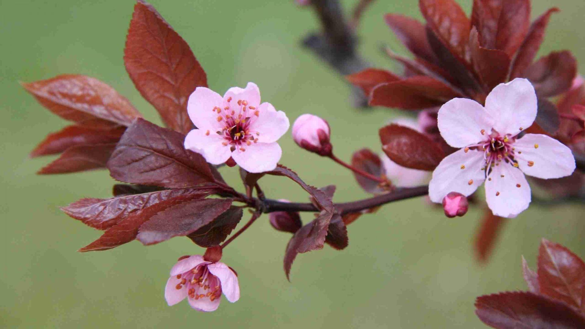 Blosssom Branch leaves Background