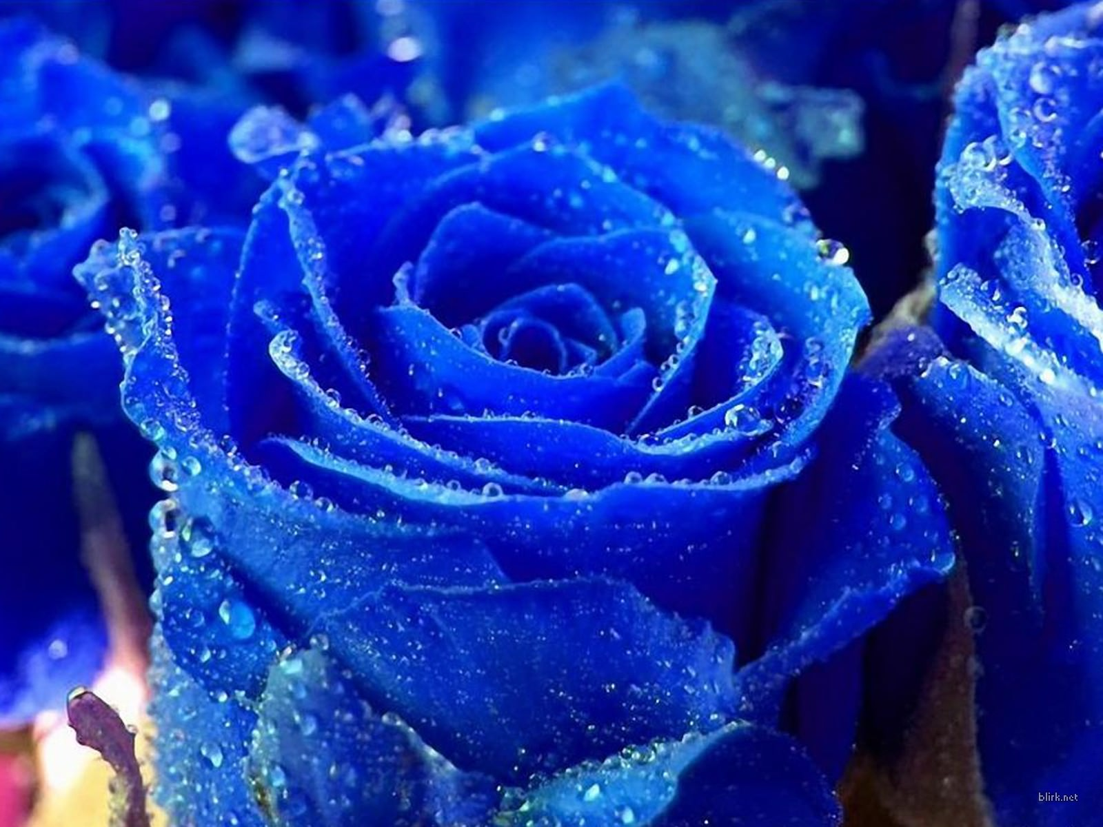 Blue Rose Flower Wallpaper