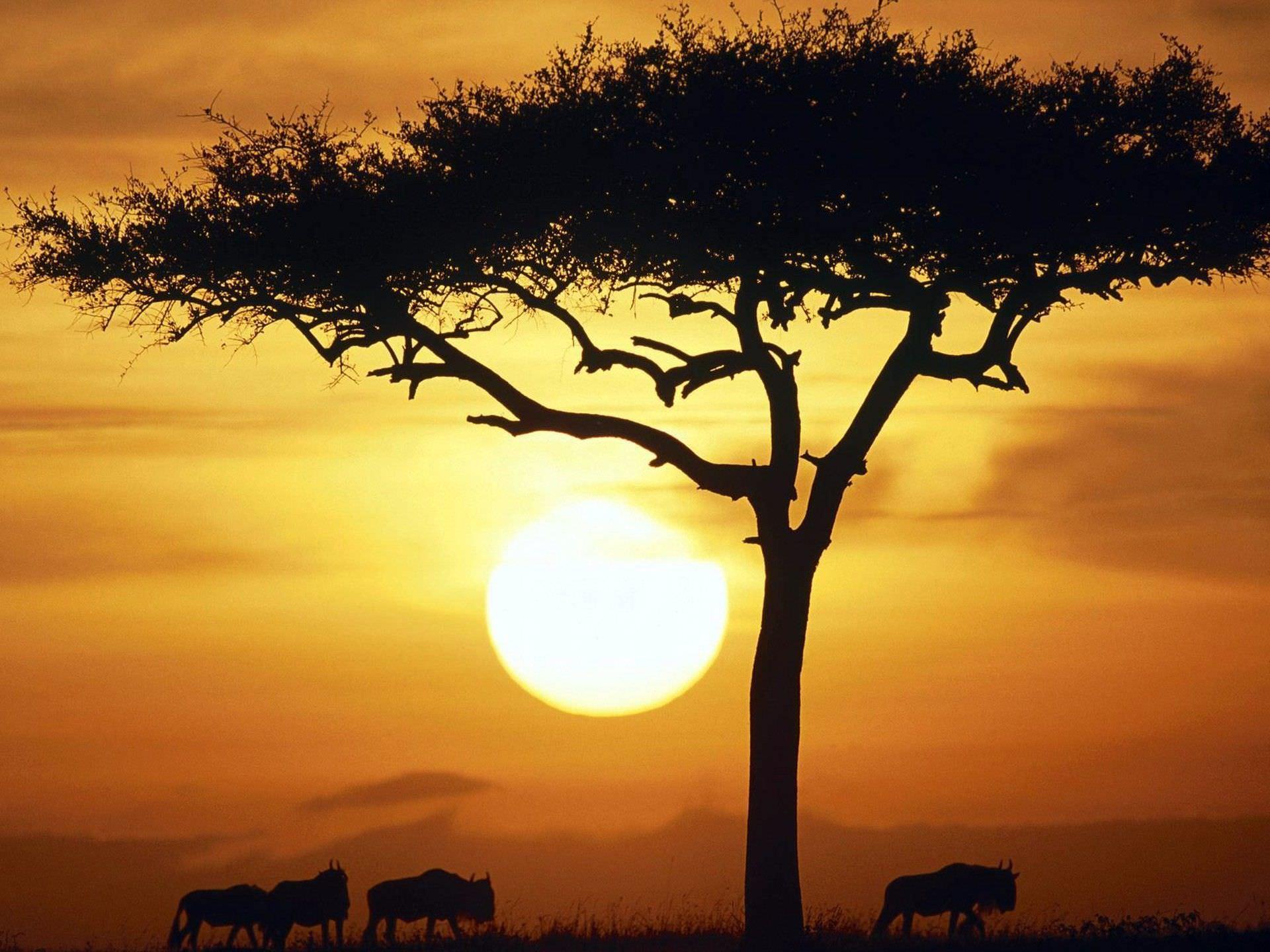 Blue Wildebeests Sunrise in Kenya