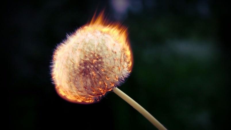 Burning Dandelion Wallpaper