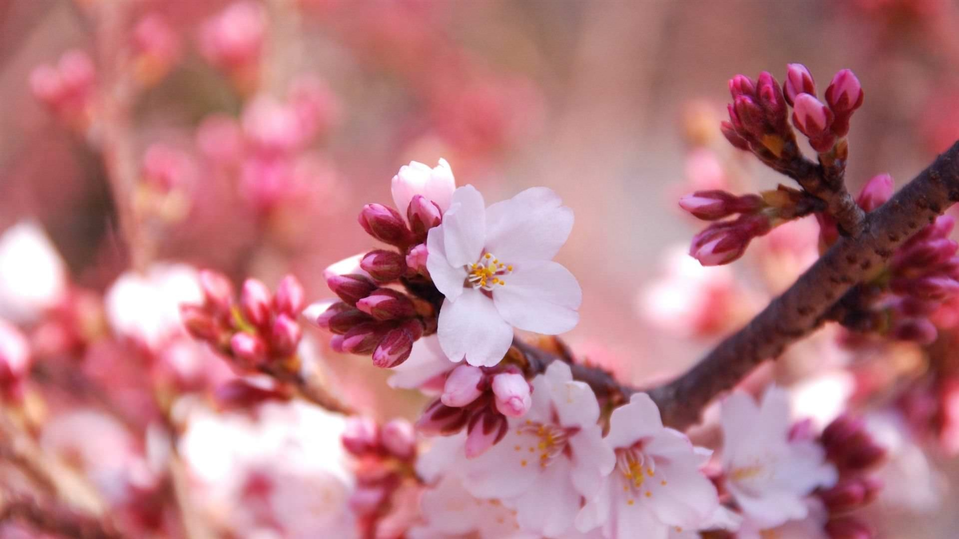 Cherry Blossom Background For You