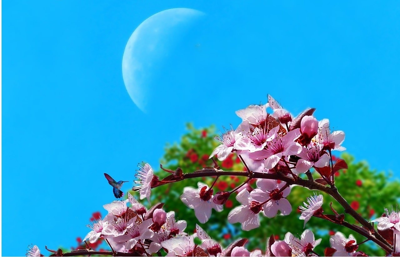 Cherry Blossom & Moon Spring Wallpaper