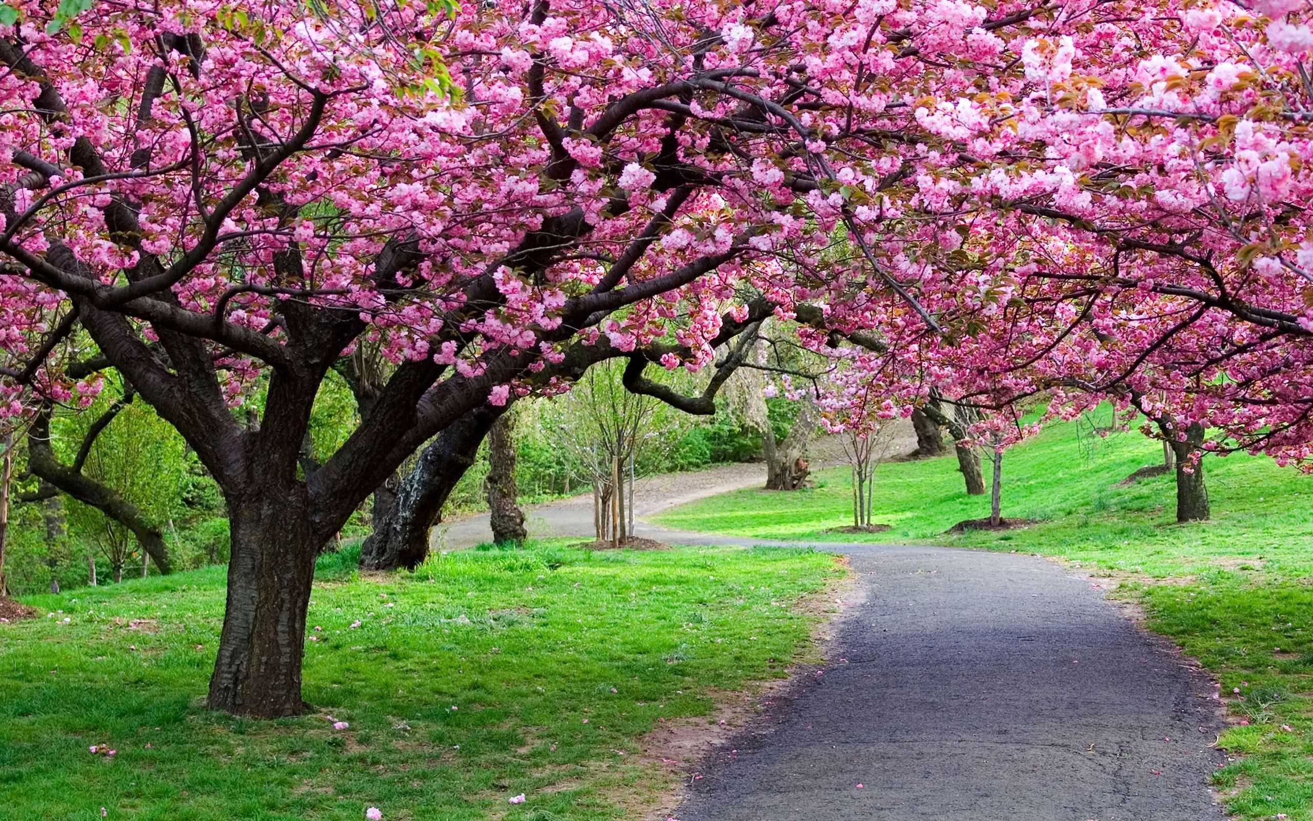 Cherry Blossom Tree Road Wallpaper