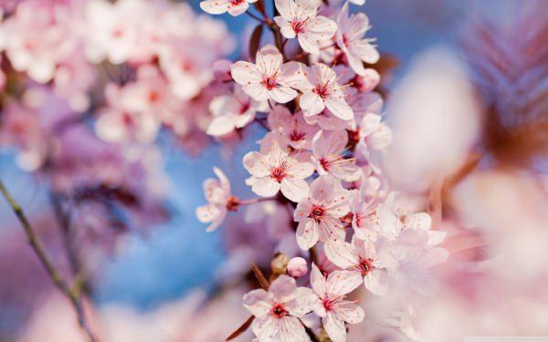 Cherry Blossom Wallpaper For Free