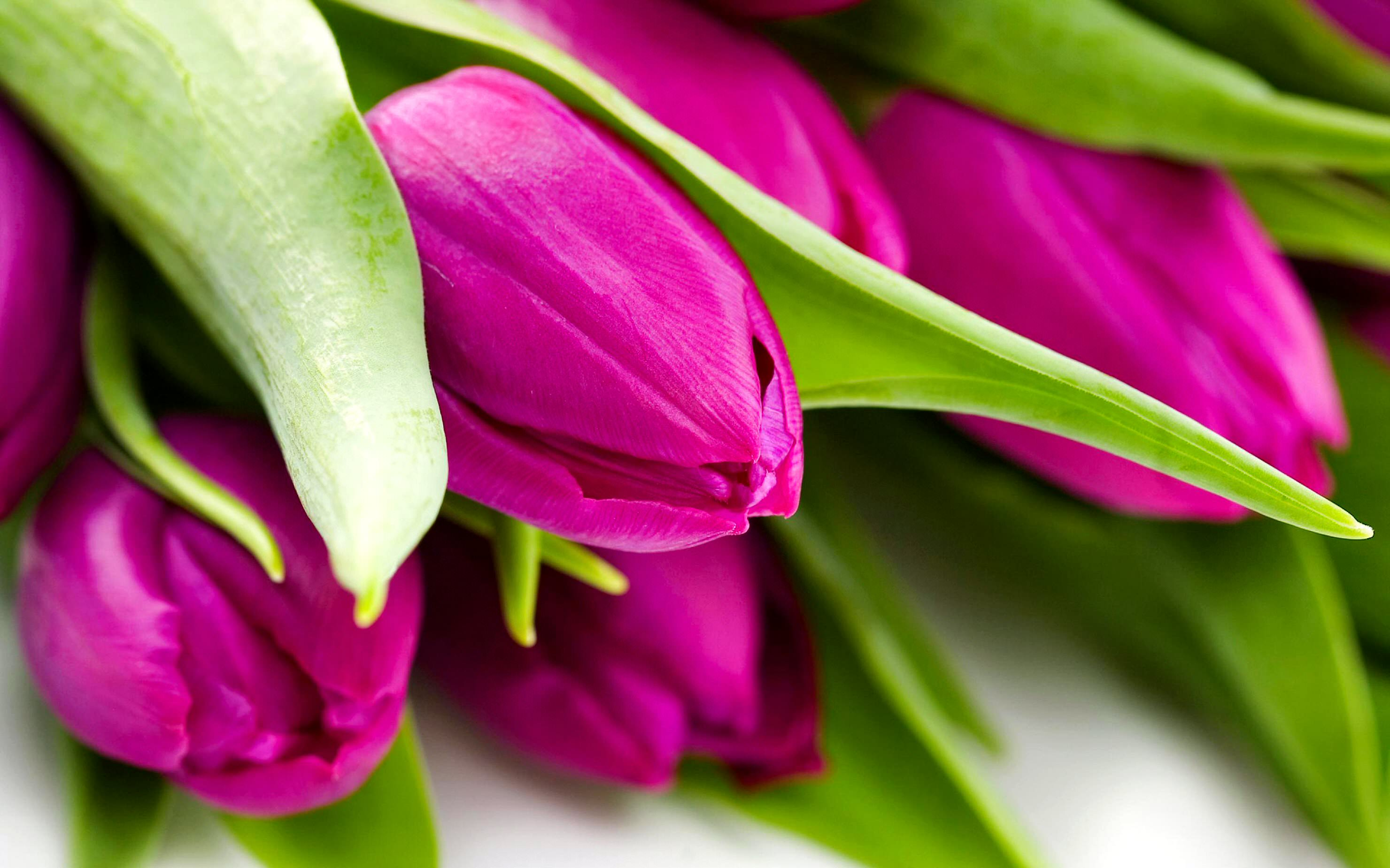 Colorful Pink Tulip Wallpaper