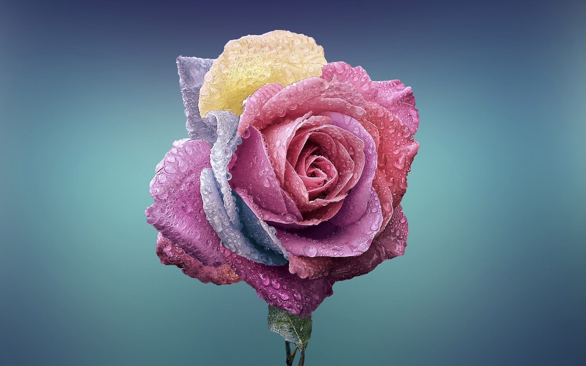 Colorful Rose Wallpaper