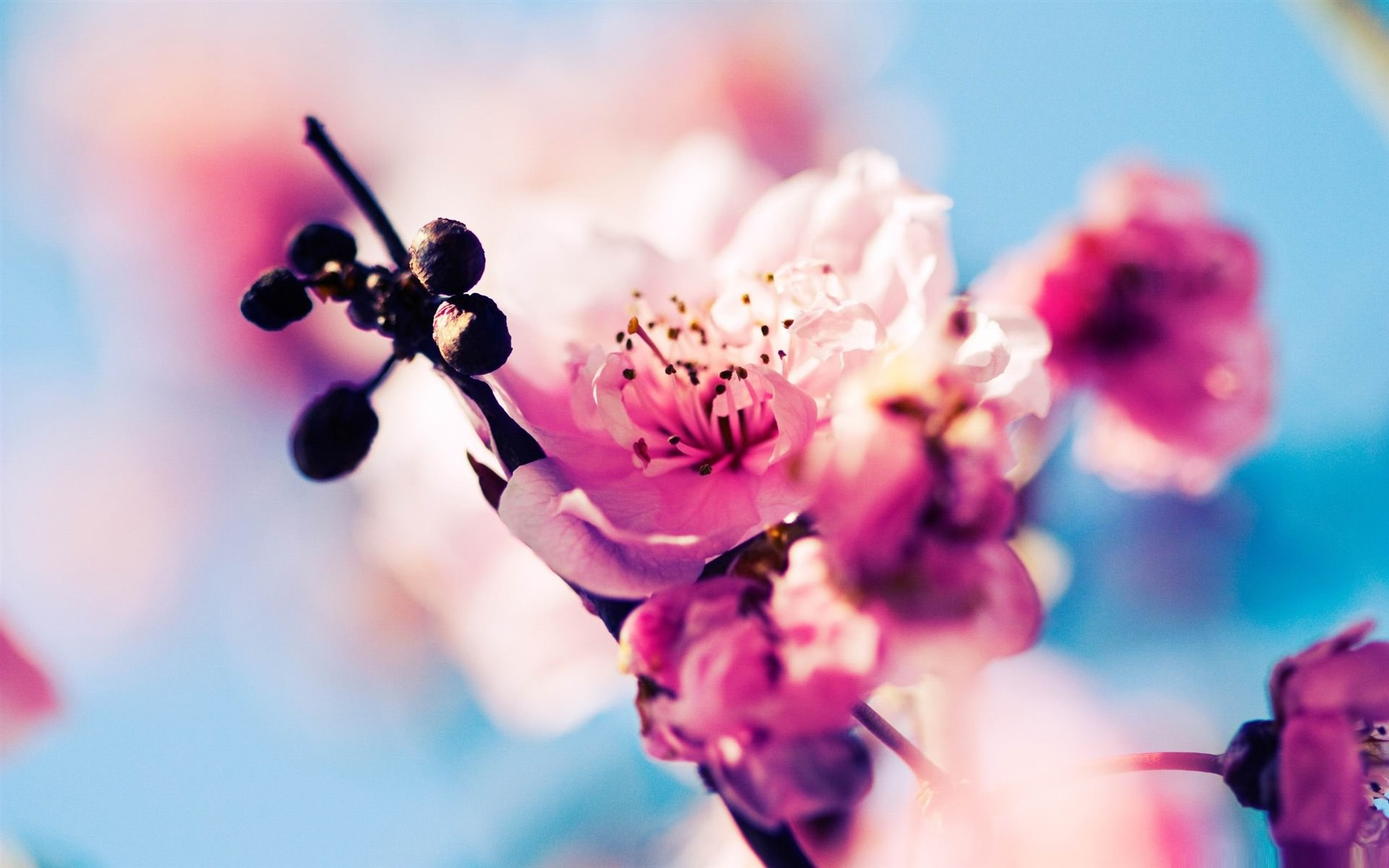 Cool Cherry Blossom Background