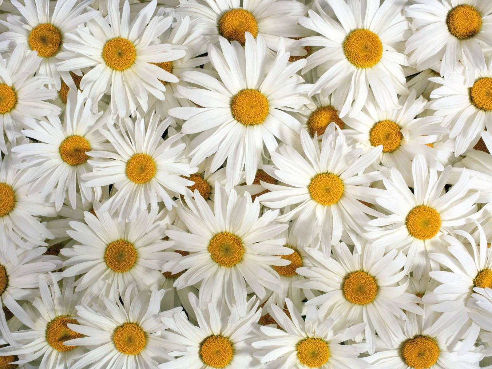 22+ Daisy Flower Wallpapers, Flower Backgrounds, Images ...