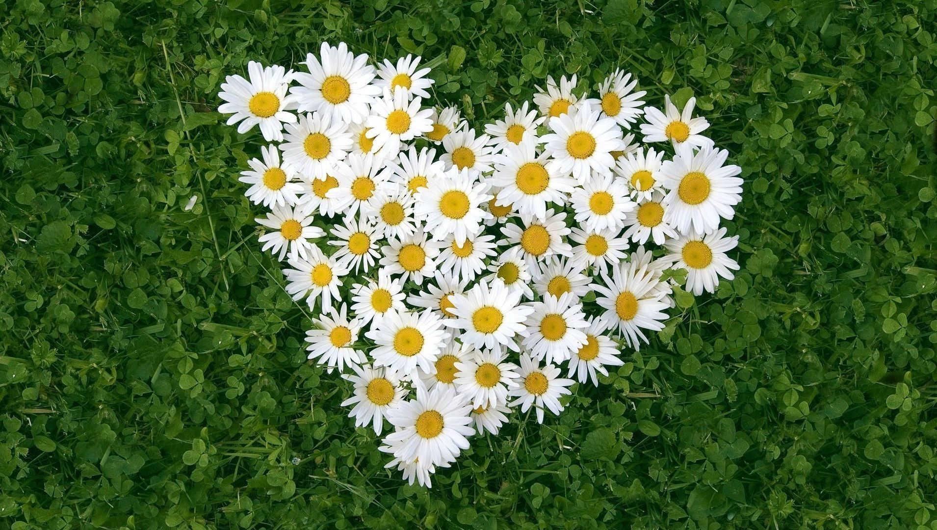 Daisy Flowers Love Heart On Green Grass
