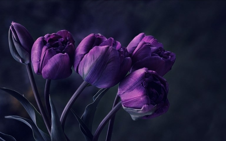 Dark Purple Tulip Flower Wallpaper