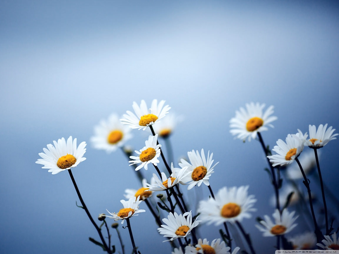 Download White Daisies Flowers Wallpaper