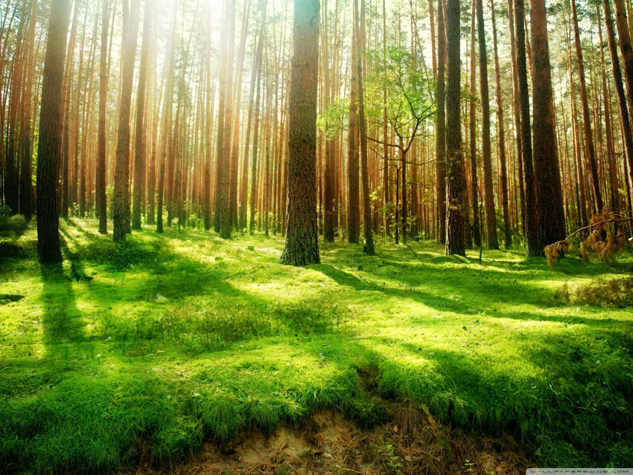 Download forest Scenery Wallpaper