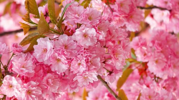 Elegant Cherry Blosssom Background