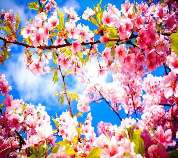 Extraordinary Cherry Blosssom Background