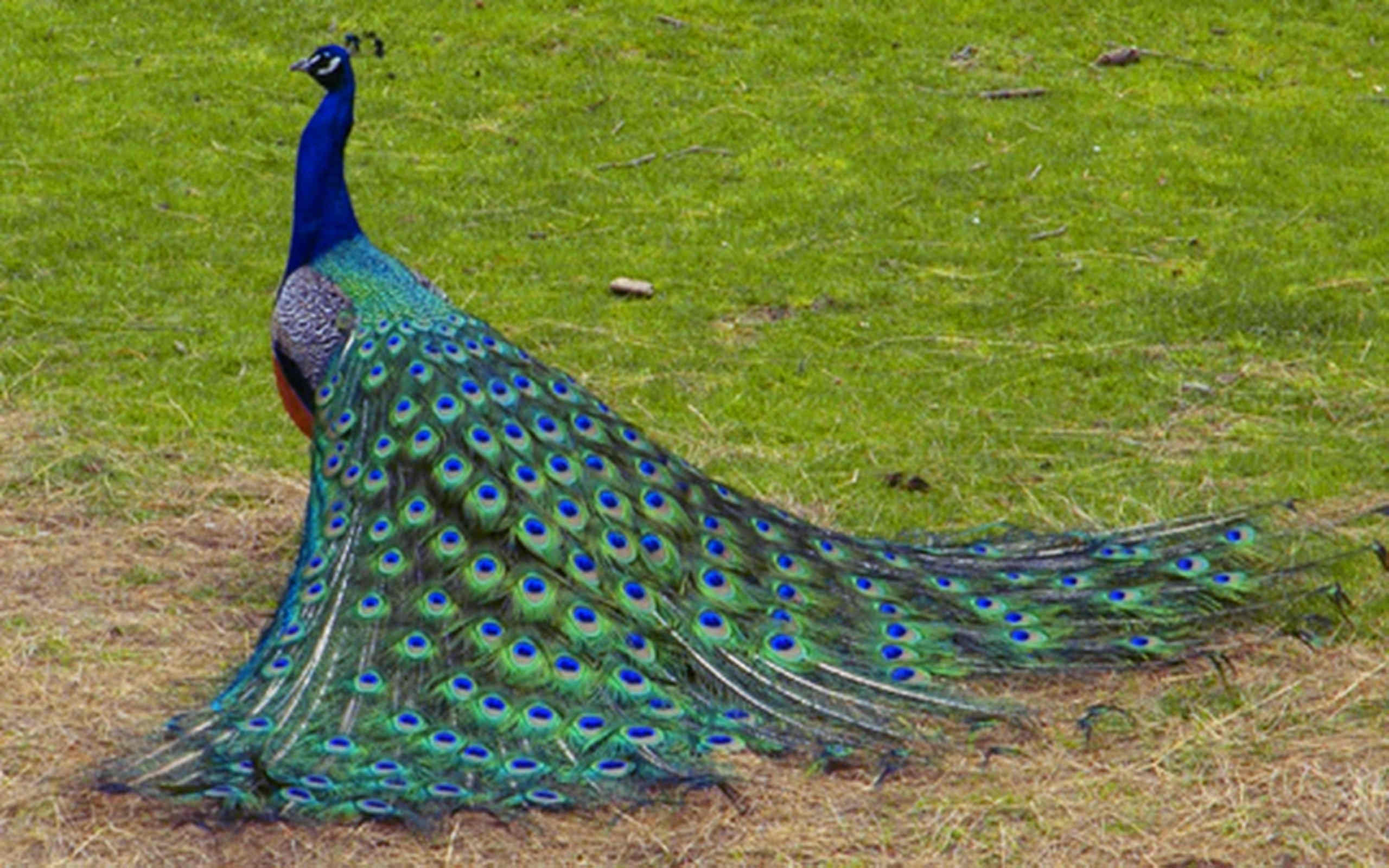 Extraordinary Peacock Wallpaper