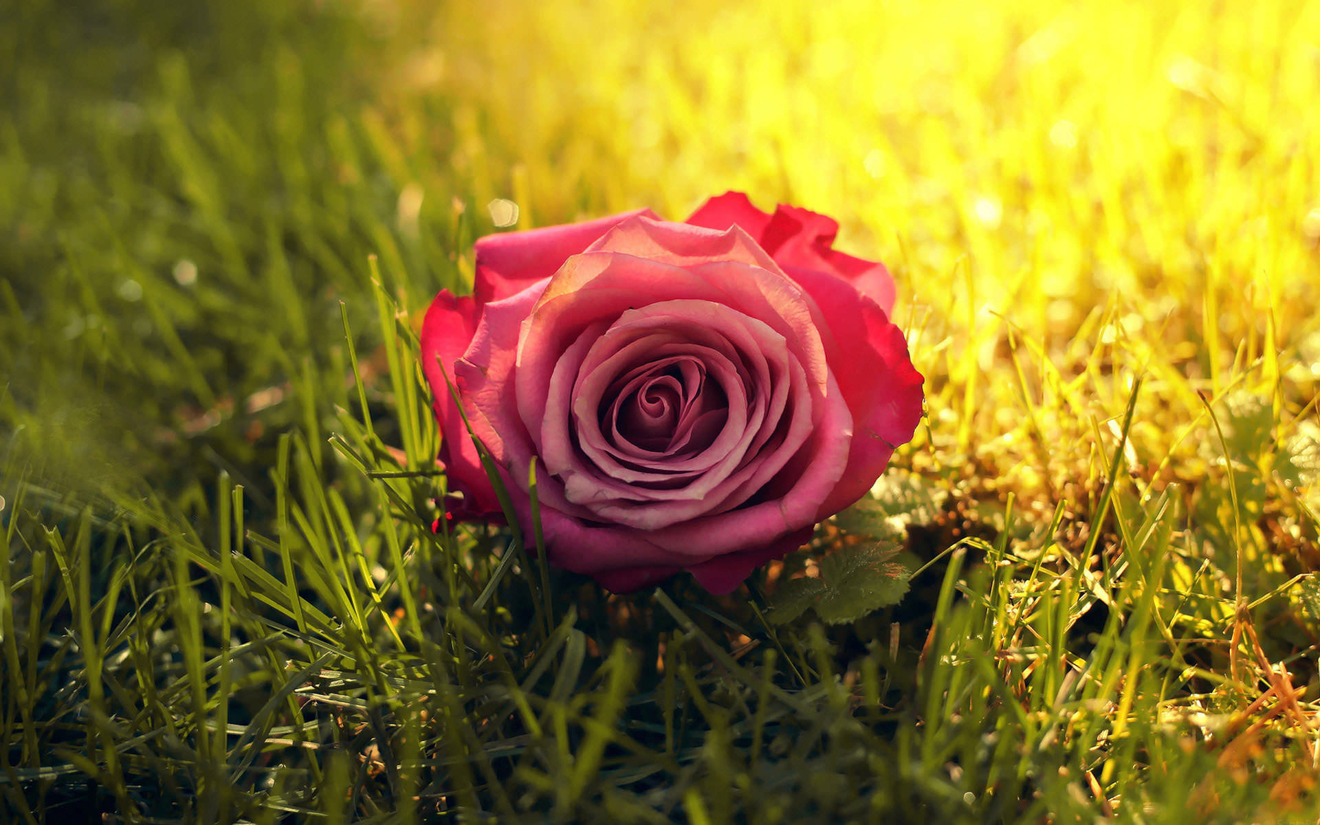 Fantastic Rose on Grass Wallpaper