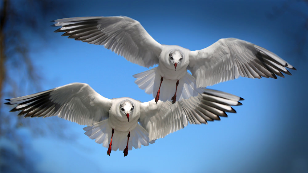 Free Gulls Seabirds Wallpaper