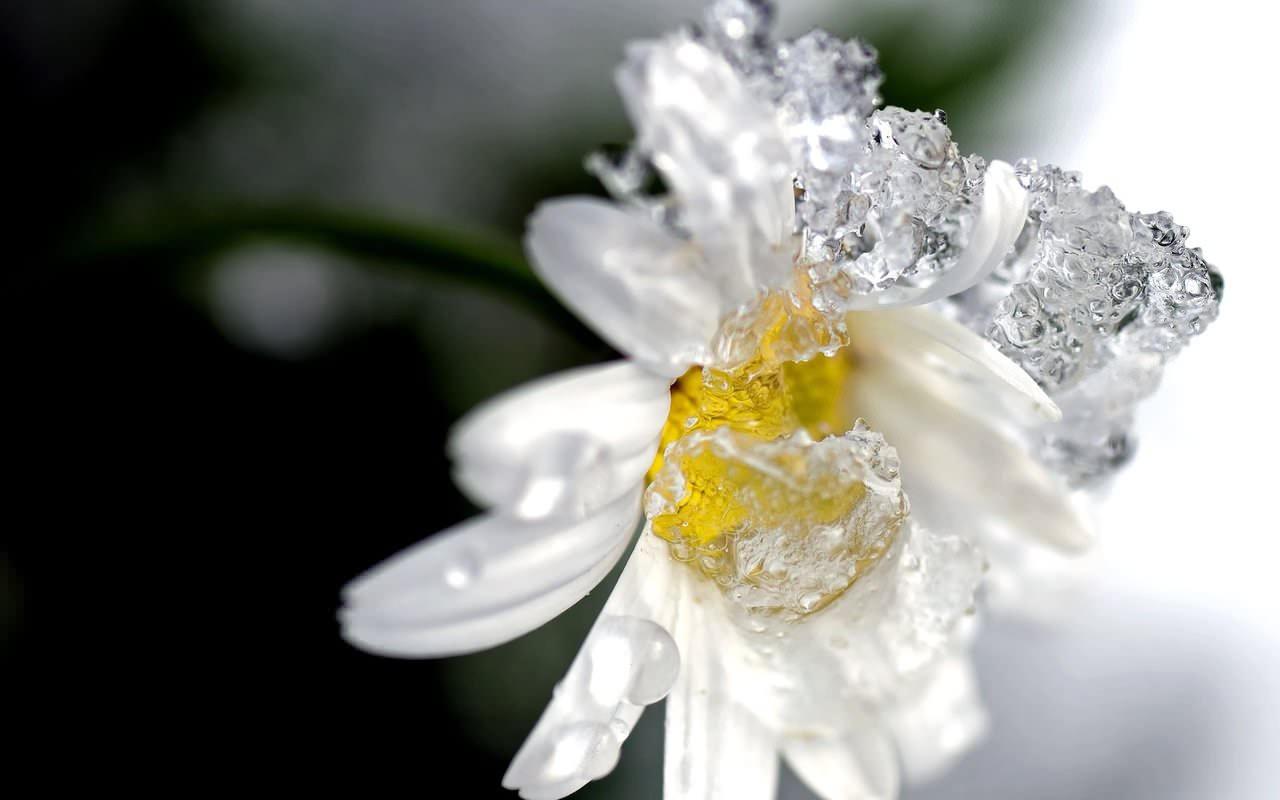 Frozen Daisy Flower Wallpaper