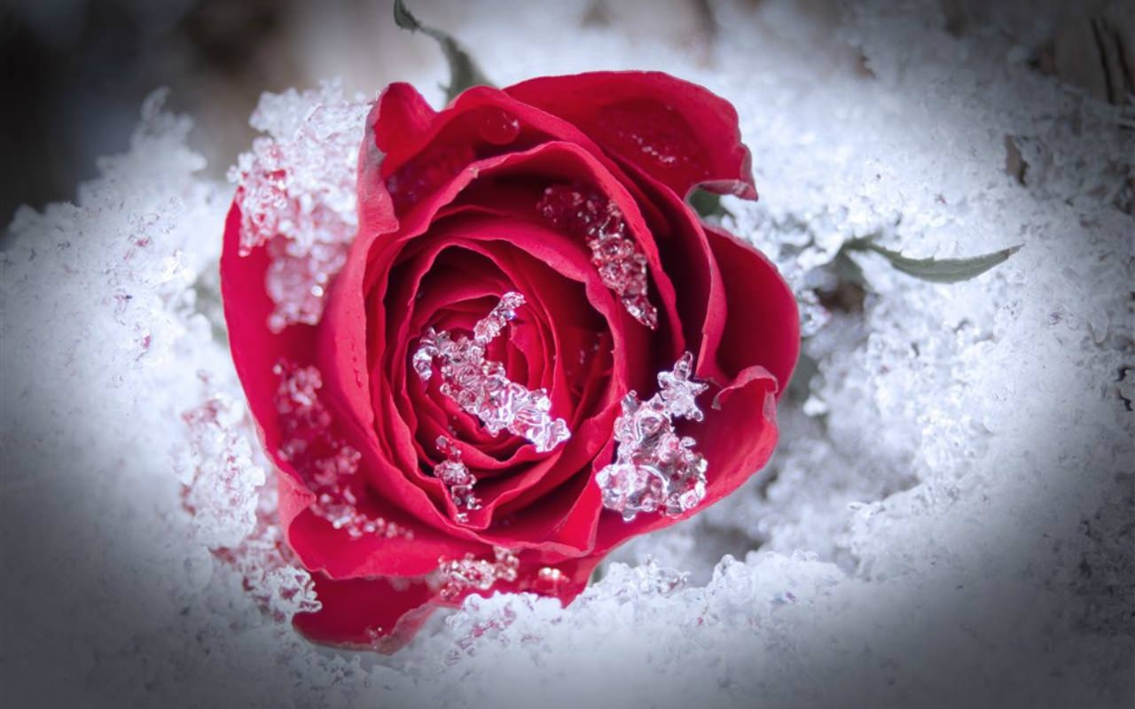Frozen Rose Wallpaper