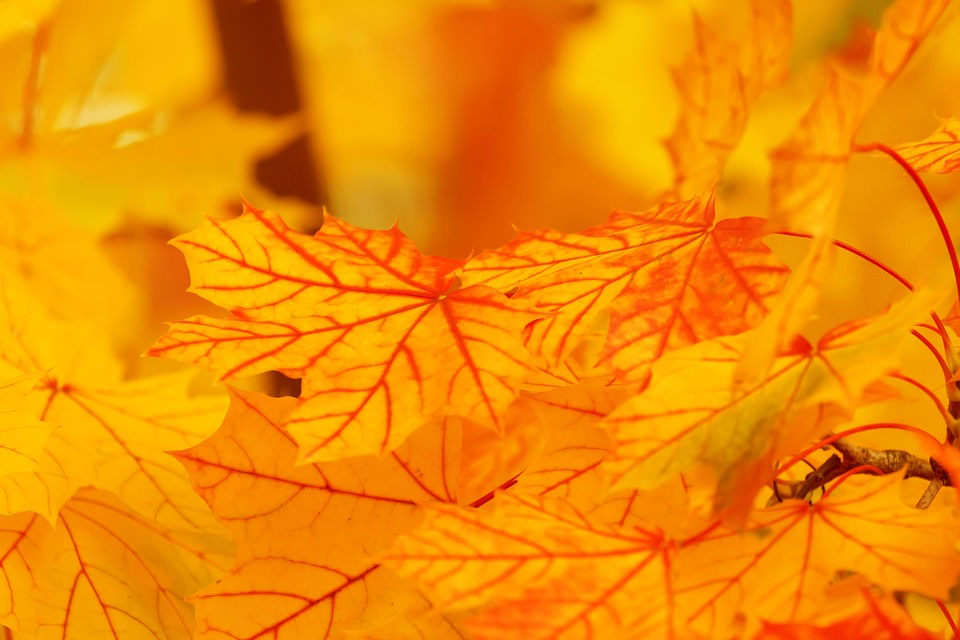 Golden  Autumn Foilage Background