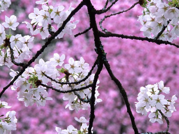 Gorgeous Cherry Blossom Wallpaper