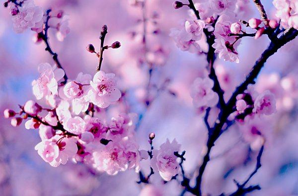 Macro Nature Cherry Flower Background