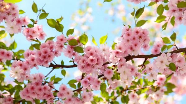 Marvellous Cherry Blossom Wallpaper