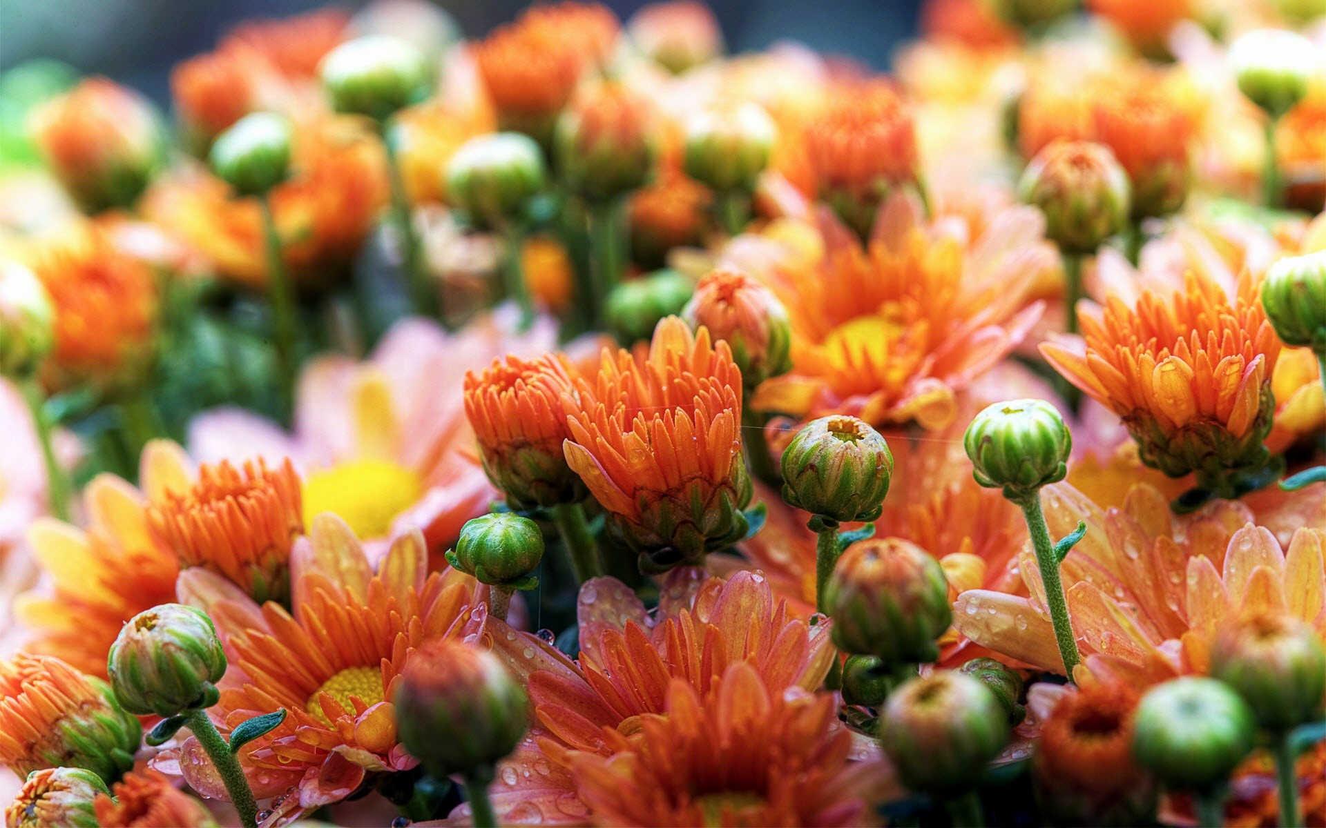 Nice orange Daisy Wallpaper