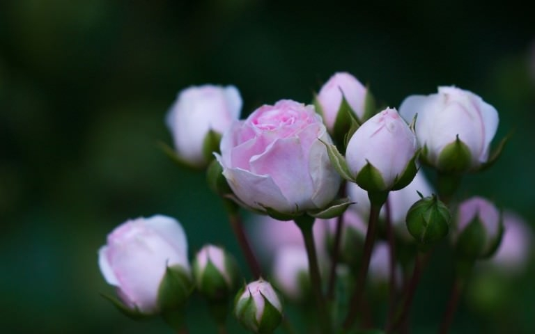 Pink Rose Buds Wallpaper